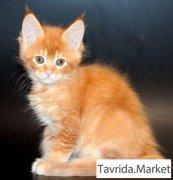 Котята мейн-кун редких окрасов