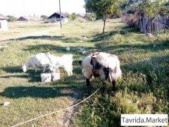 Козел, коза и козлята.
