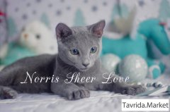 Волшебный голубой котенок Norris Sheer Love.