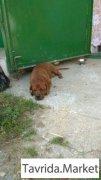 Найдена собака кобель темно-рыжий