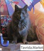 Помогите найти.Пропал дымчато серый кот Марсик в районе ул.Горбульского 3.