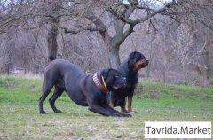 Дрессировка и передержка собак в Керчи