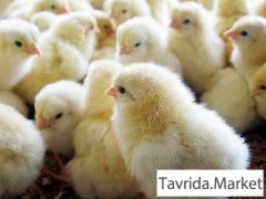Бройлерные цыплята Кобб-500