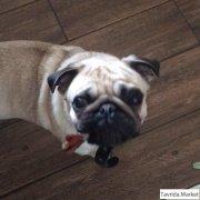 Пропала собака, девочка породы мопс в с.  Бондаренково ( 7 км от Керчи)