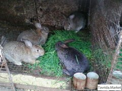 кролики породы бельгийский Фландер
