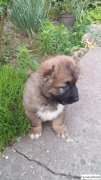 Пропала собака. Кавказская овчарка
