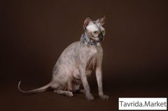 Котёнок Эльф, бамбино, двэльф, сфинкс для радости и бизнеса.