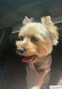 Найдена собака, йоркширский терьер